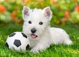 White terrier with football